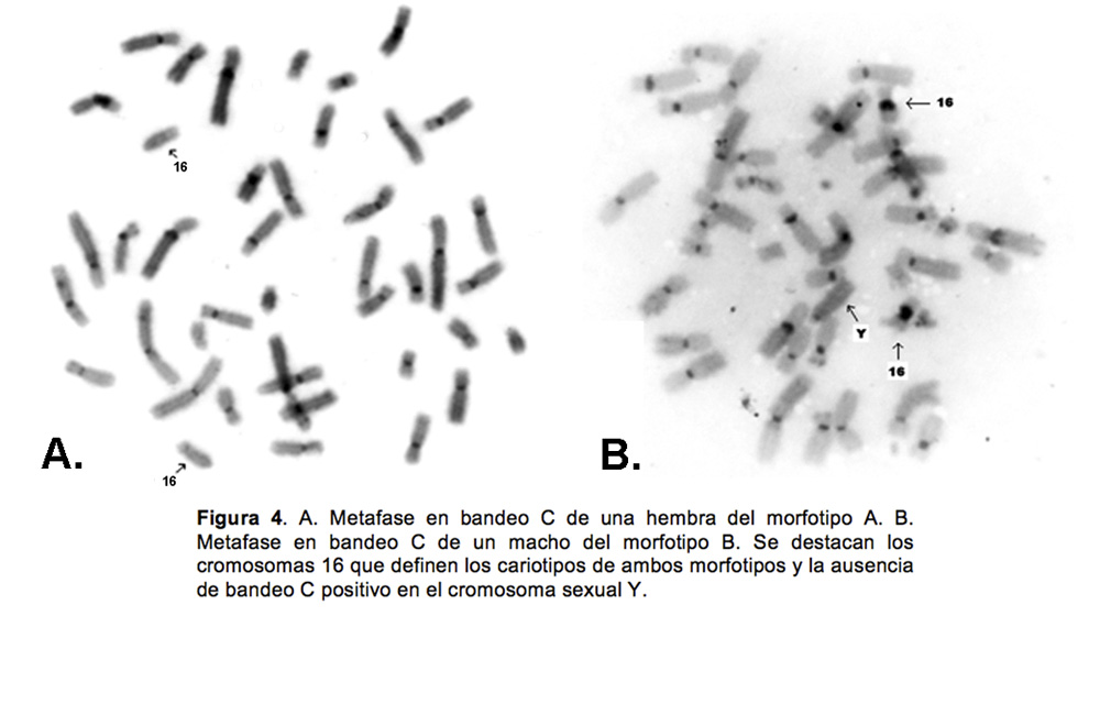 Replication Patterns and no Differential Banding in Colombian ...