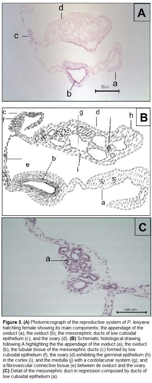 Histological description of the reproductive system of male and histologically the entire reproductive system fig 3 is coated by a single epithelial layer of flat and fusiform cells these cells have a pattern of ccuart Images
