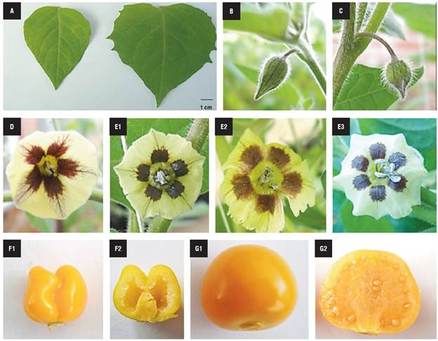 Fertility recovery of anther-derived haploid plants in Cape