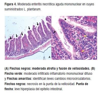 EVALUATION in vivo of Lactobacillus plantarum WITH PROBIOTIC ...