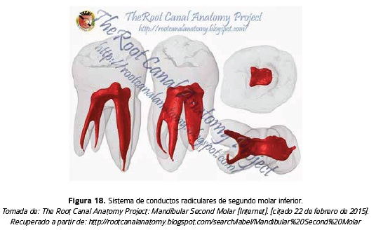 Root anatomy, a view from the microsurgery endodontic: Review