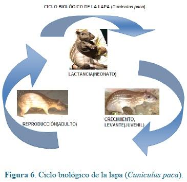 Biology of agouti (Cuniculus paca Brisson): a breeding perspective