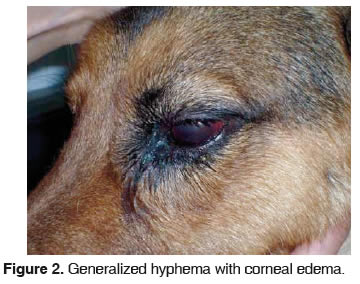 Dog Uveitis Pictures Tdc
