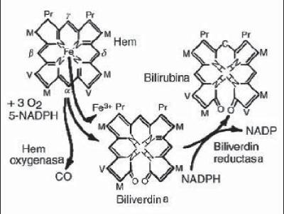 The Protective Role Of Bilirubin In Human Beings