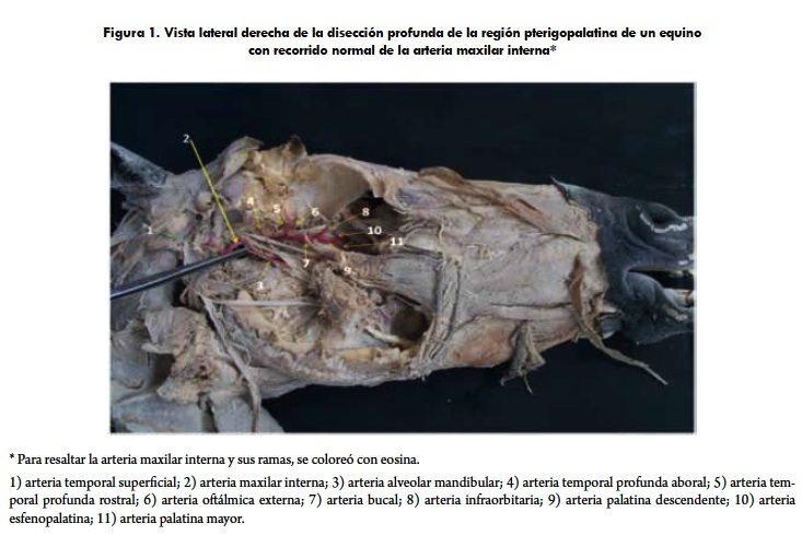 Anatomical Variation of Equine Internal Maxillary Artery: a Case Study